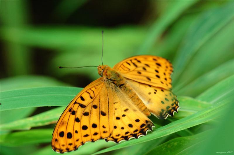 斐豹蛺蝶 Indian Fritillary (Argyreus hyperbius)