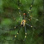 人面蛛(台)、大木林蜘蛛(港)、斑絡新婦(中)Nephila maculata (Fabricius)
