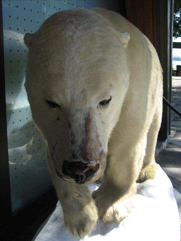 polar bear outside of fram museum
