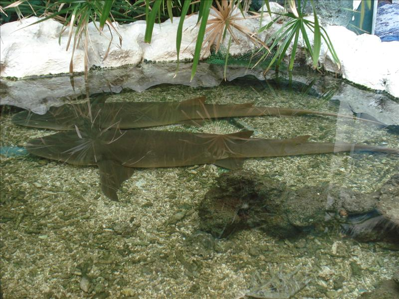 Nurse sharks having a nap