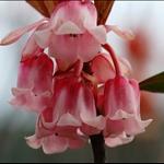 吊鐘花 Enkianthus quinqueflorus