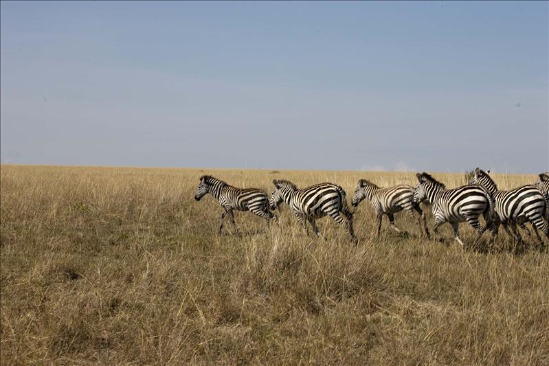 Zebras trotting along.