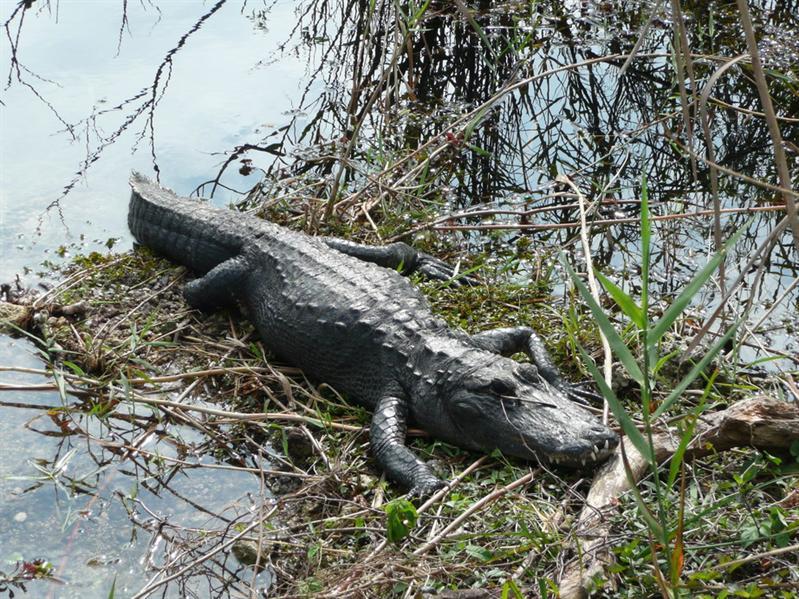 Everglade National Park - Gator