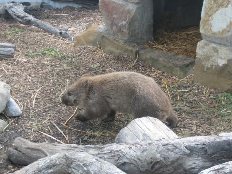 Yogi, the Wombat