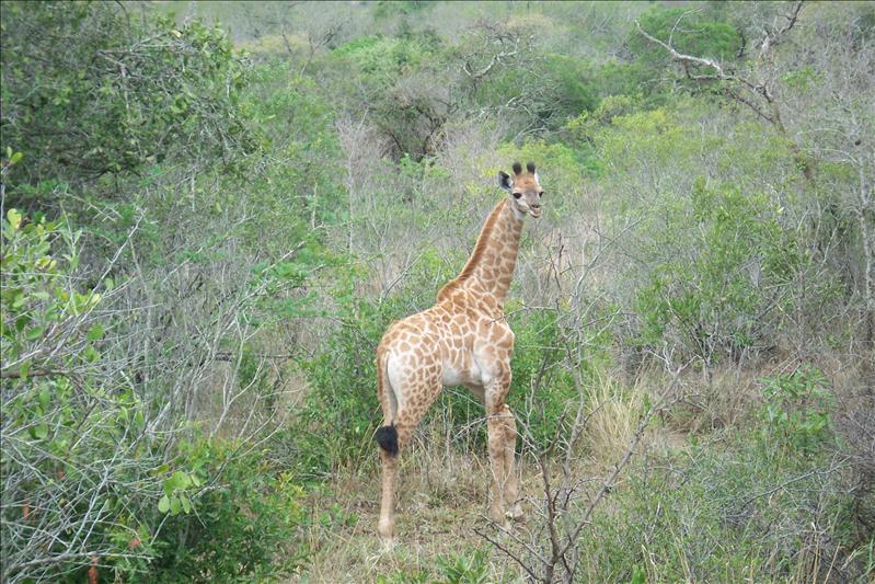 Baby Giraffe / Girafon