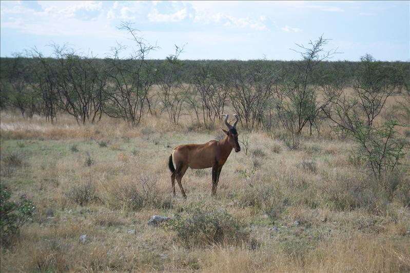 Red Hartebeest / Bubale du Cap