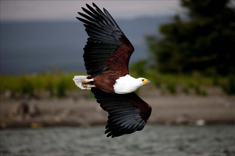 African Fishing Eagle..banking turn