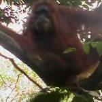 4. Sumatra - Orang-utan.JPG