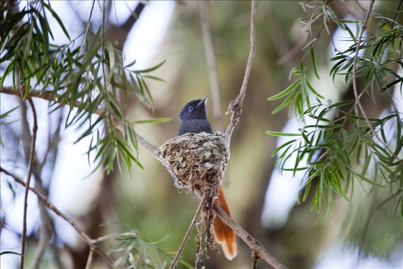 Paradise Flycatcher in nest