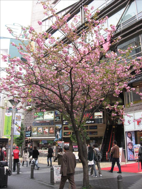 飯店外的櫻花樹