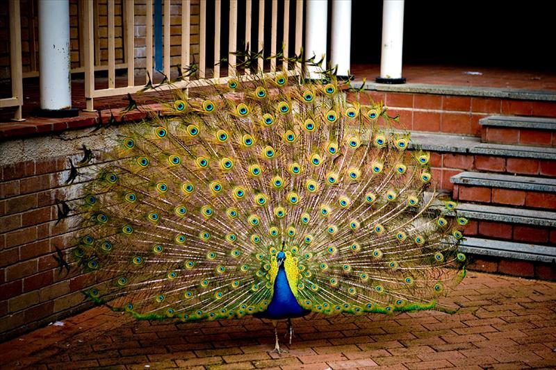 Peacock @ UWA