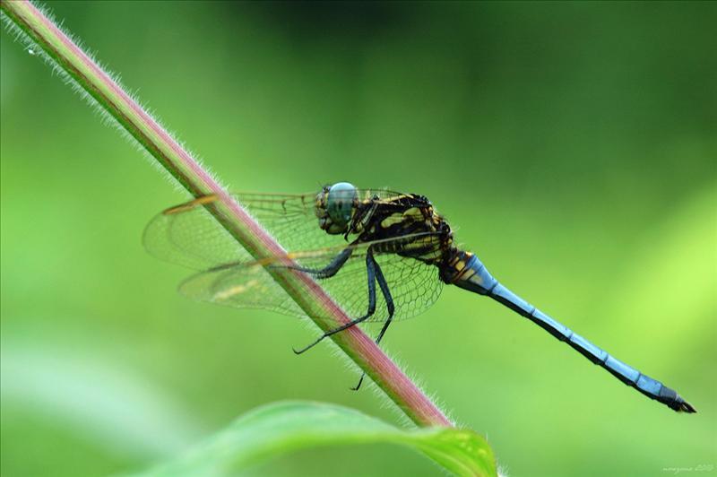優美纖春蜓香港亞種 Leptogomphus elegans hongkongensis (Elegant Clubtail)