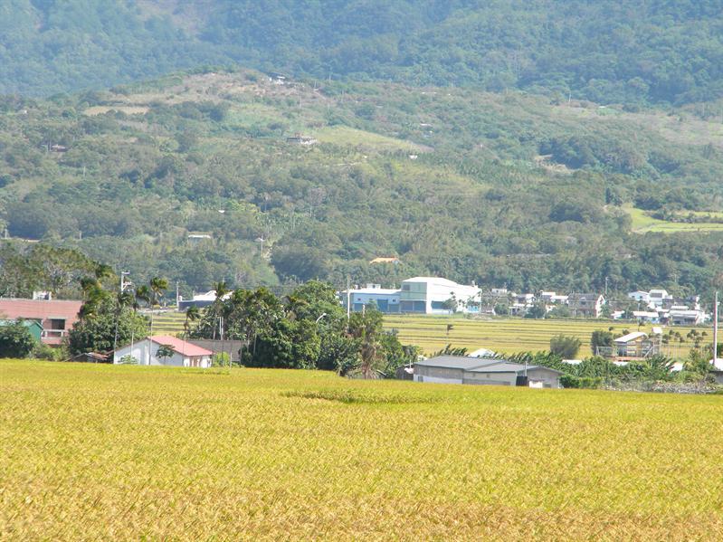 往台東路上的稻米田