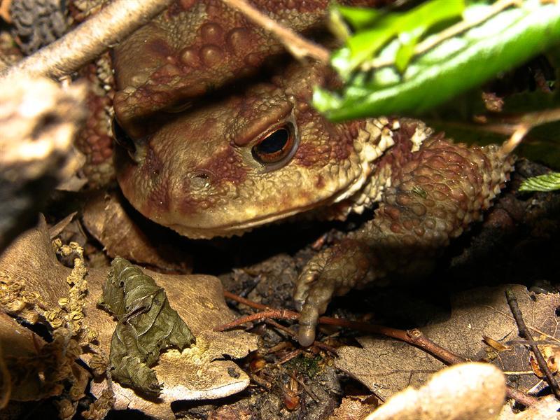 Really big frog