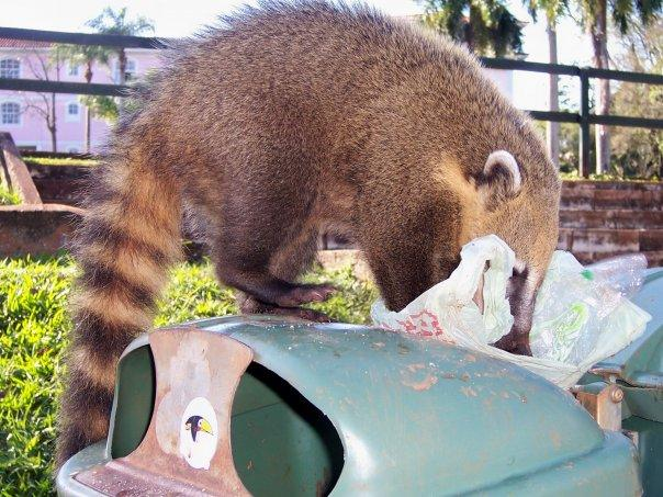 CUTE COATI, IGUACU