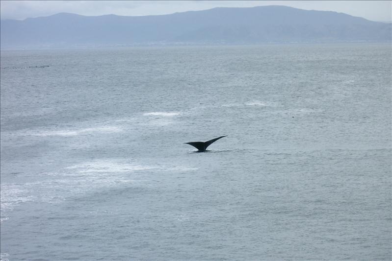 Southern Right Whales in Hermanus / Baleine Franche à Hermanus