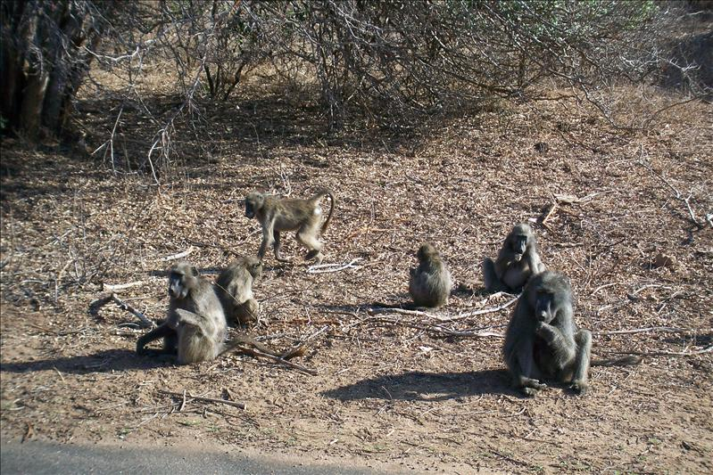 Baboons Family