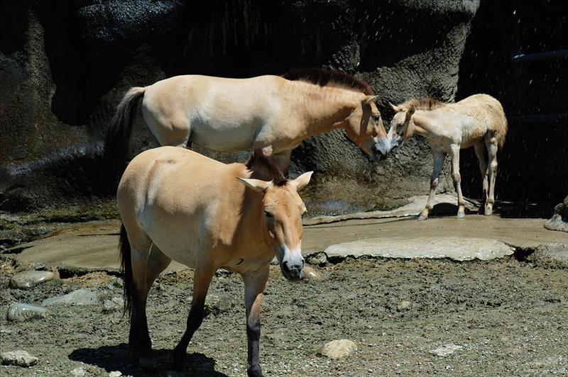 蒙古野馬 Przewalskii Horse