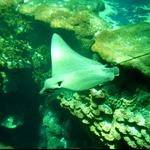 海洋公园海洋馆蝙蝠鱼.jpg