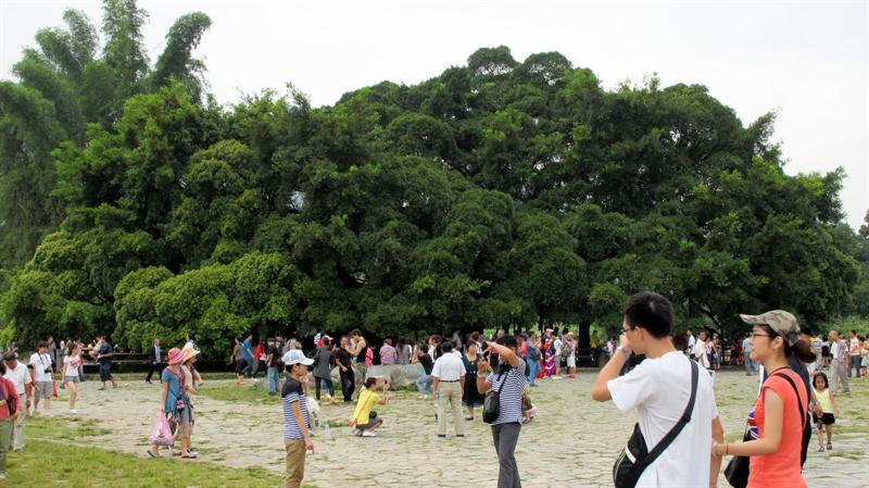 """Grand Banyan Tree"" (大 榕 樹 )-- 1400 years old"