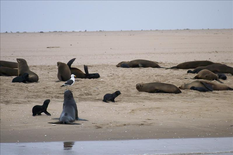 Seal colony / Colonie de phoques