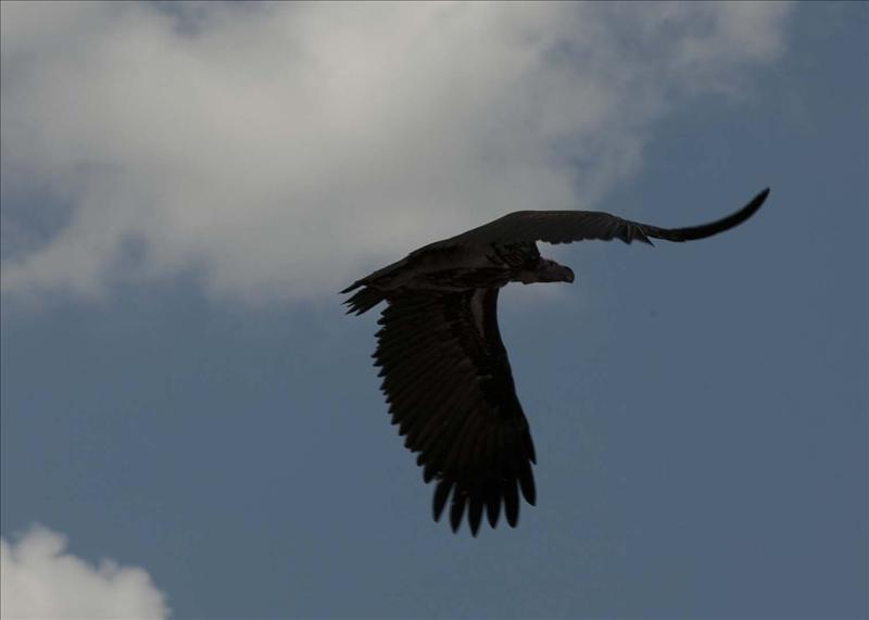 Lappetfaced-juvenile vulture in flight