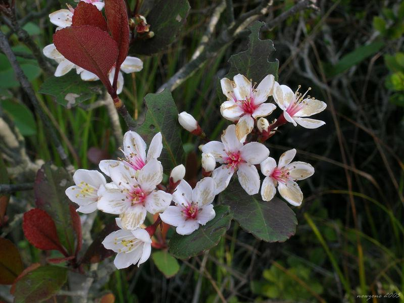Raphiolepis indica (Hong Kong Hawthorn) 車輪梅