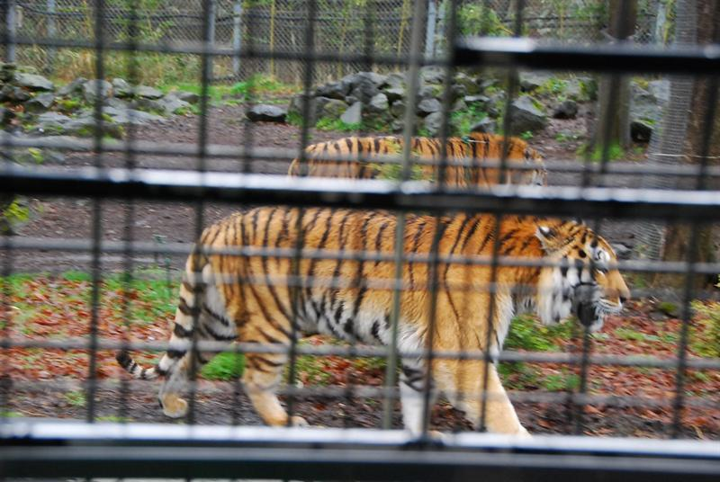 走在車旁的老虎才知道他有多大隻