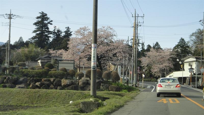 群馬縣果然正在盛開櫻花