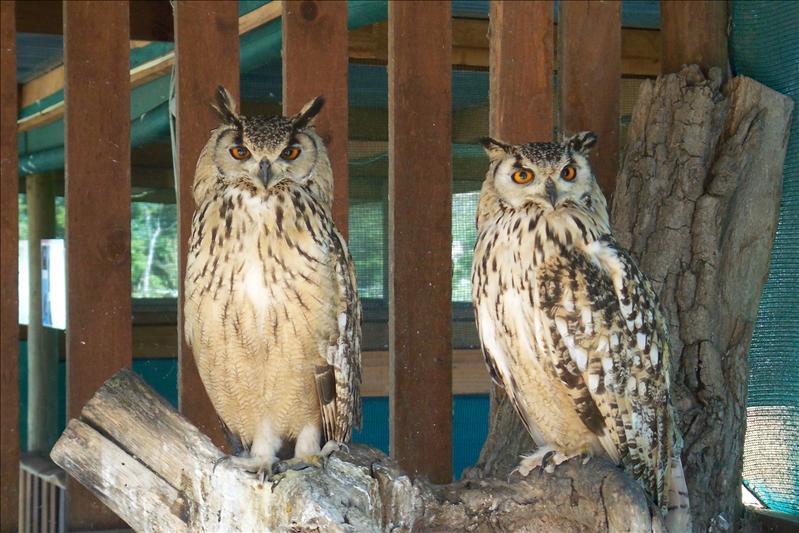 Owl / Hiboux