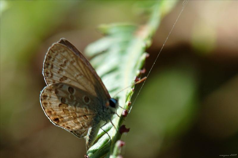 紫紫灰蝶Chilades lajus (Lime Blue)