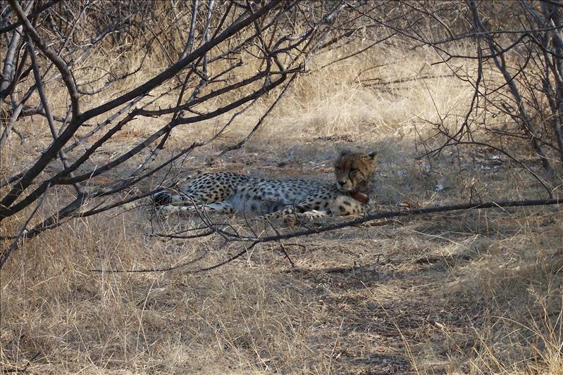 Cheetah / Guépard