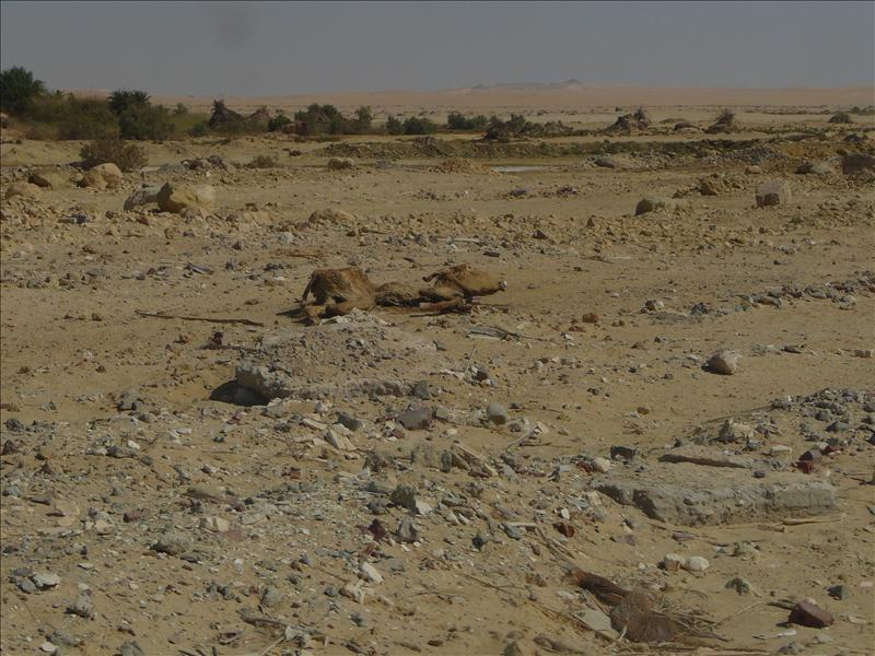 Siwa - Woestijn Kameel/Dromedaris?