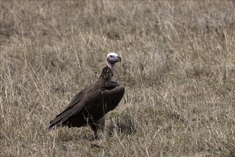 Lappetfaced-juvenile vulture