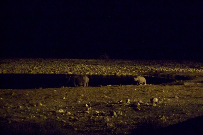 Black Rhinos at night (mother & baby)