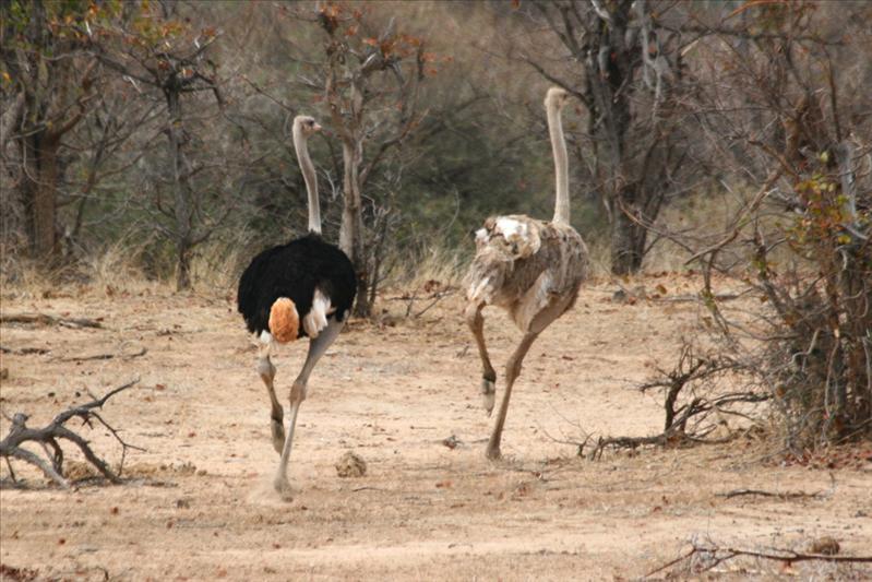 Ostriches couple / Couple d'autruches