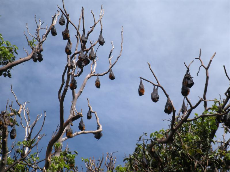 Bats in Sydney Botanical Gardens