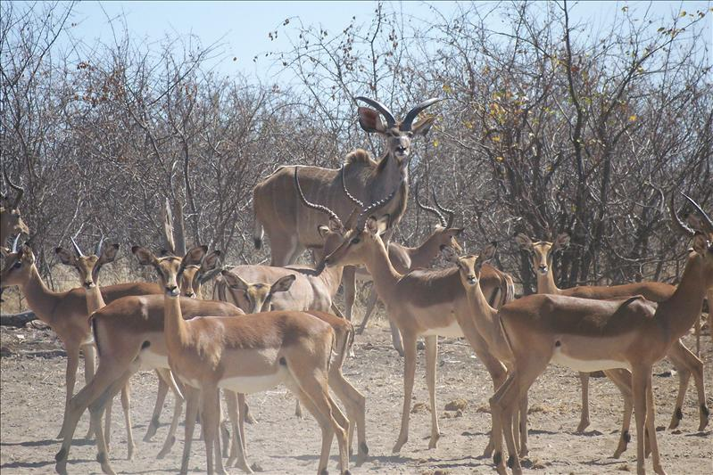 Young male kudu + impala