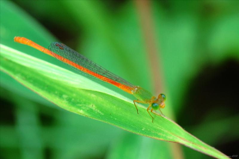 琉球橘黃蟌 Orange_tailed Sprite (Ceriagrion auranticum ryukyuanum)