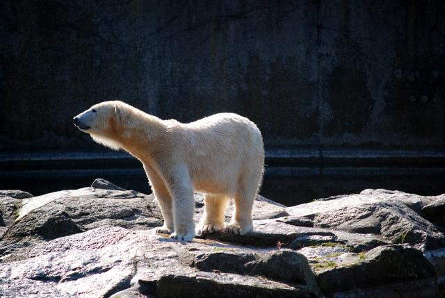 Polar bear at Berlin Zoo
