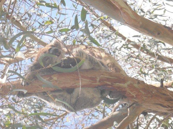 Koalas in the wild - sooo cute!