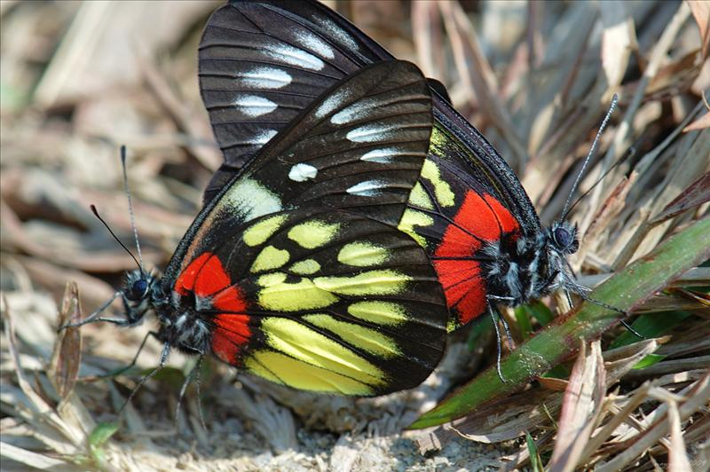 Red-base Jezebel (Delias pasithoe) 交配中的報喜斑粉蝶
