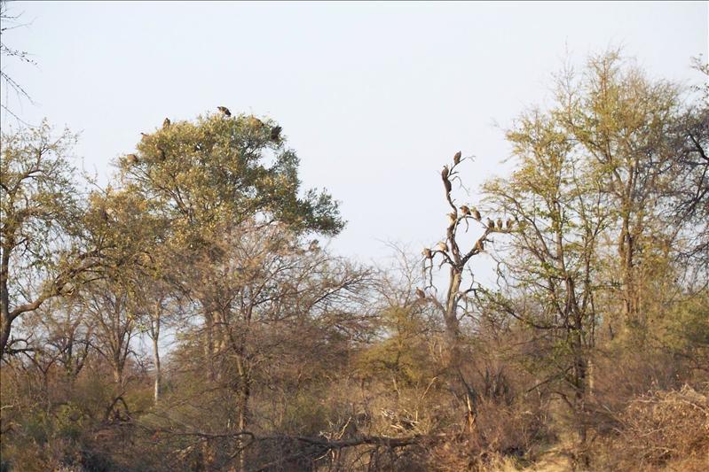 More vultures / toujours plus de vautours