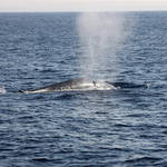 "Blue whale ""blowing"""