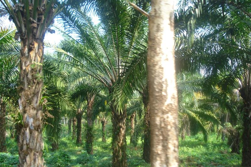 Oil Palm - Plantation at Ezhuattumugham