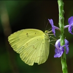 Eurema blanda (Three-spot Grass Yellow) 檗黃粉蝶