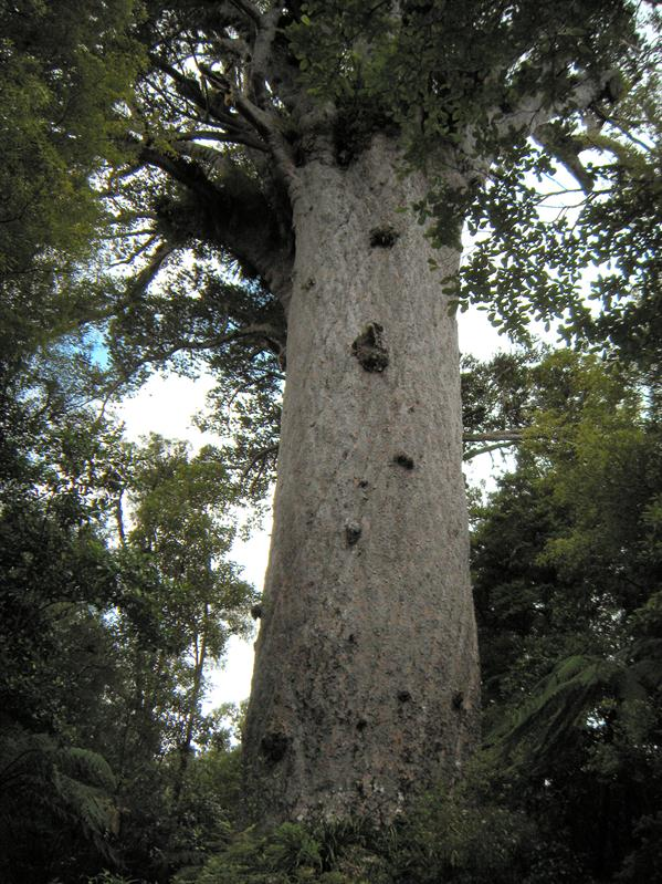 Tane Mahuta kauri tree (largest known one in NZ)