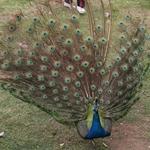 Peacock, HuangGuoShu, GuiZhou, China