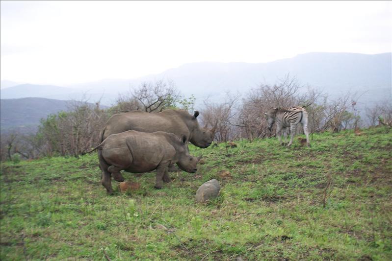 White Rhino (Mother and 2 years baby) and zebra / Rhino blanc (mère et bébé de 2 ans) et zèbre
