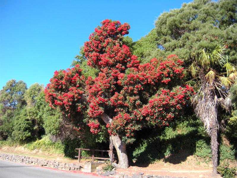 A Rata tree at Akaroa